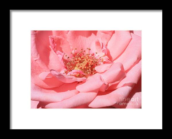 Roses Framed Print featuring the photograph Sweet Pink Rose by Carol Groenen