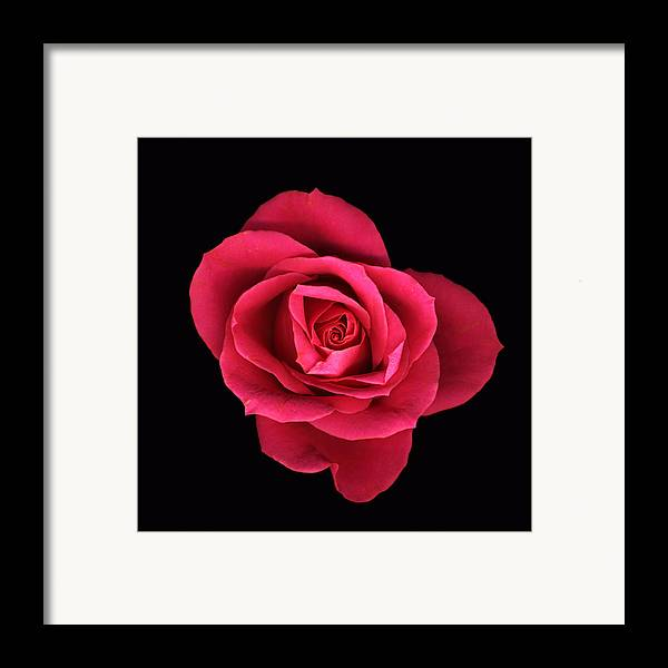 Scanography Framed Print featuring the photograph Sweet Pink Rose by Deborah J Humphries