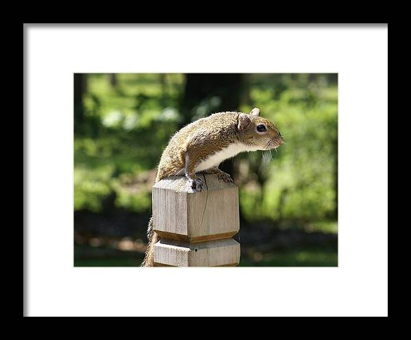 Squirrel Framed Print featuring the painting Sweetie by Debbie May