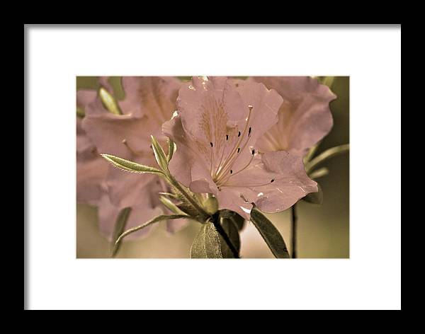 Azaleas Framed Print featuring the photograph Sweetness by Donna Shahan