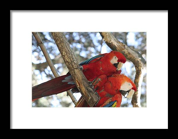 Couple Framed Print featuring the photograph Sweetness - Scarlet Macaws by Lynn Michelle