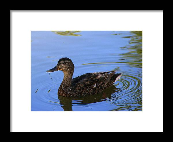 Ducky Framed Print featuring the photograph Swimming Alone by Kathy Roncarati
