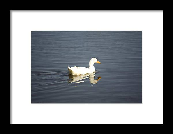 Duck Framed Print featuring the photograph Swimming Away by Magda Levin-Gutierrez