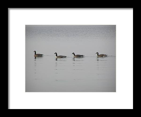 Geese Framed Print featuring the photograph Swimming Geese by Richard Mitchell