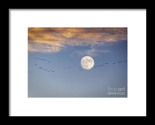 Sandhill Cranes Framed Print featuring the photograph Symphony In The Sky by Janice Pariza