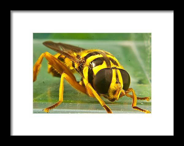Syrphid Framed Print featuring the photograph Syrphid Eye To Eye by Douglas Barnett