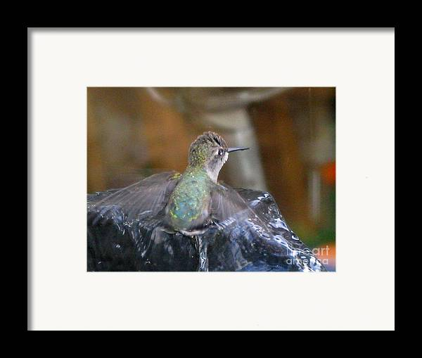 Humming Bird Framed Print featuring the photograph Taking A Drink by PJ Cloud