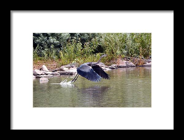 Fine Art Blue Heron Greeting Cards. Fine Art Blue Heron Photography. Blue Heron Photogrphs. Fine Art Blue Heron Paintings. Bird Photography. Blue Heron Flying. Blue Heron Nesting. Blue Heron Hunting. Bird Photography. Framed Print featuring the photograph Taking Off by James Steele