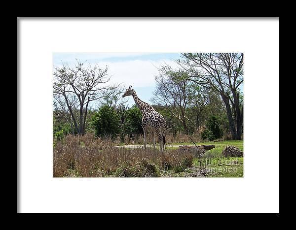 Giraffe Framed Print featuring the photograph Tall Giraffe by Carol Bradley
