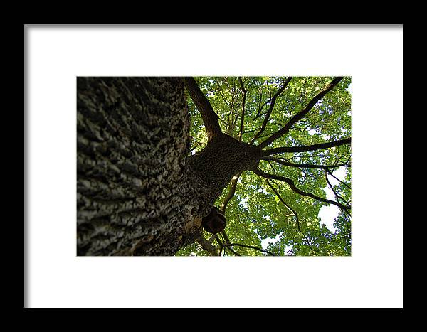 Tree Framed Print featuring the photograph Tall Oak by Marcus L Wise