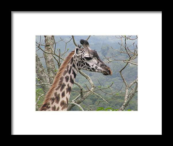 Giraffe Framed Print featuring the photograph Tall One by Diane Barone