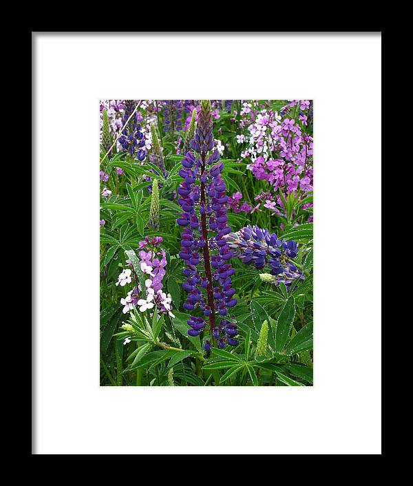 Luppin Framed Print featuring the photograph Tall Purple Luppin by Melissa Parks