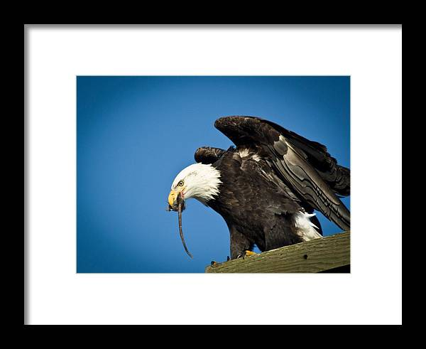 Bald Eagle Framed Print featuring the photograph Taste Like Chicken by Rob Mclean