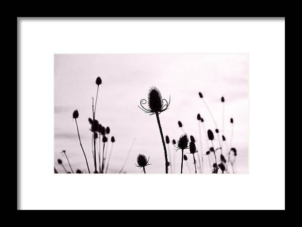 Teasel Framed Print featuring the photograph Teasels In A French Field II by Gareth Davies