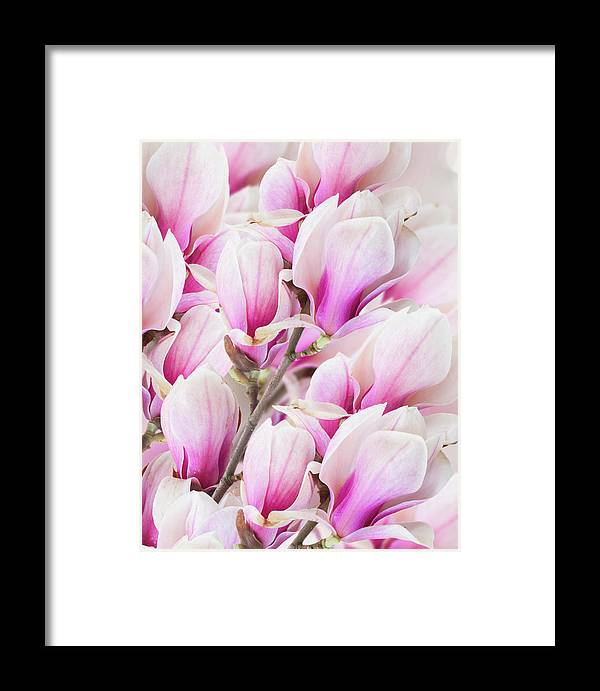 Background Framed Print featuring the photograph Tender Magnolia Flowers by Anastasy Yarmolovich