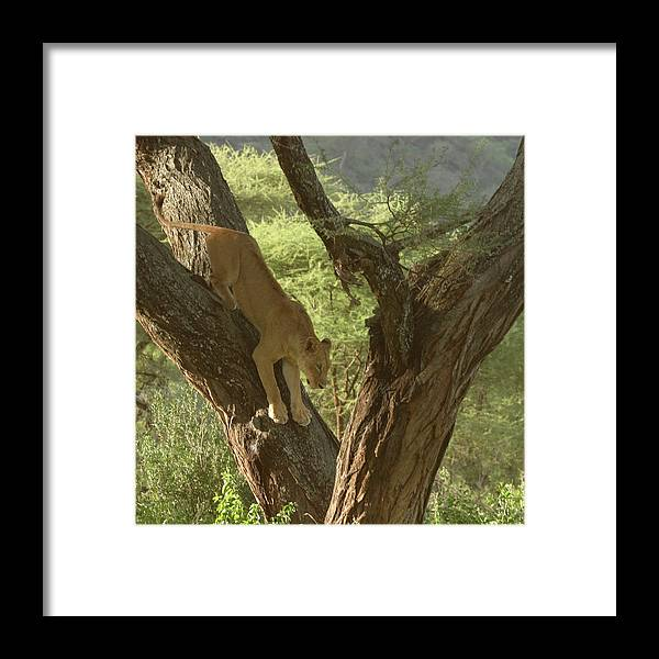 Tree Framed Print featuring the photograph Terengeti Lioness by Joseph G Holland