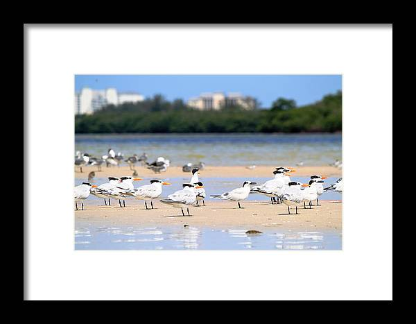 Terns Framed Print featuring the photograph Terns At Fort Myers by Mary Ann Artz