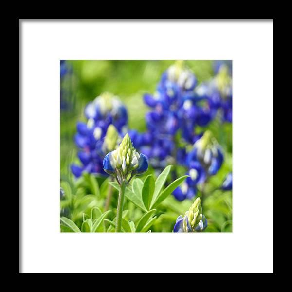 Bluebonnet Framed Print featuring the photograph Texas Bluebonnets 003 by Jenny Harrison