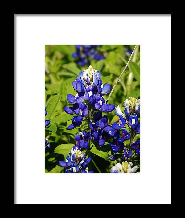 Bluebonnet Framed Print featuring the photograph Texas Bluebonnets 005 by Jenny Harrison