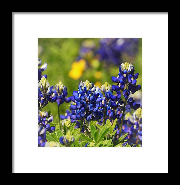 Bluebonnet Framed Print featuring the photograph Texas Bluebonnets 006 by Jenny Harrison