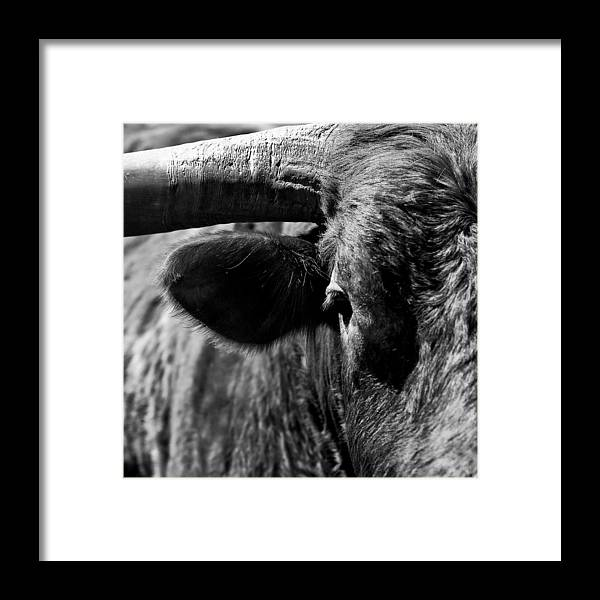 Bull Framed Print featuring the photograph Texas Longhorn Bulls Eye by Onyonet Photo Studios