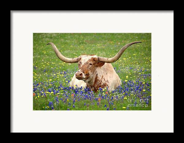 Texas Longhorn In Bluebonnets Framed Print featuring the photograph Texas Longhorn In Bluebonnets by Jon Holiday