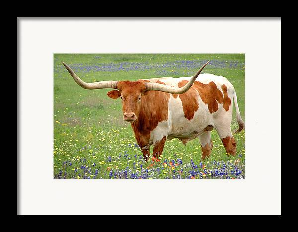 Texas Longhorn In Bluebonnets Framed Print featuring the photograph Texas Longhorn Standing In Bluebonnets by Jon Holiday