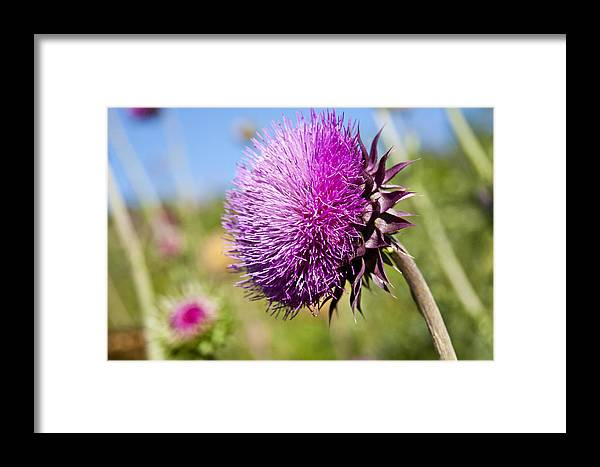 Texas Framed Print featuring the photograph Texas Thistle by Mark Weaver