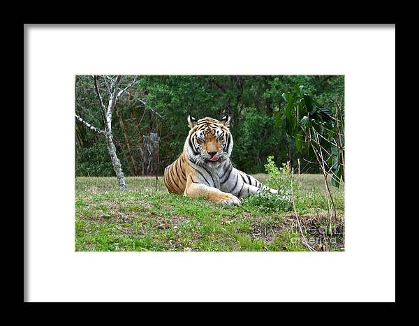 Tiger Framed Print featuring the photograph That Was Delicious by Carol Bradley
