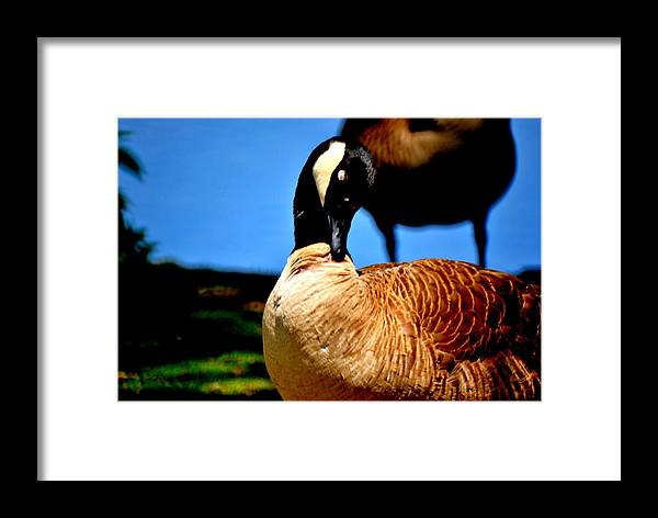 Framed Print featuring the photograph The Beautiful Duck by Robert Scauzillo