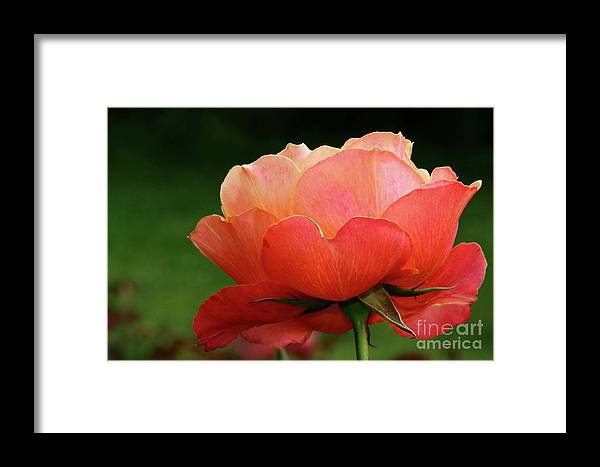 Rose Framed Print featuring the photograph The Beauty Of A Rose by Christiane Schulze Art And Photography