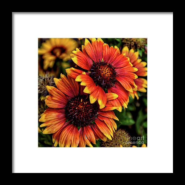 Flowers Framed Print featuring the photograph The Bold And Beautiful Pair by Kirt Tisdale