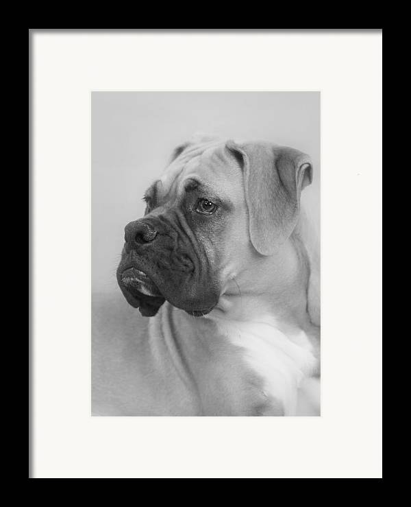 Boxer Dog Framed Print featuring the photograph The Boxer Dog - The Gentleman Amongst Dogs by Christine Till