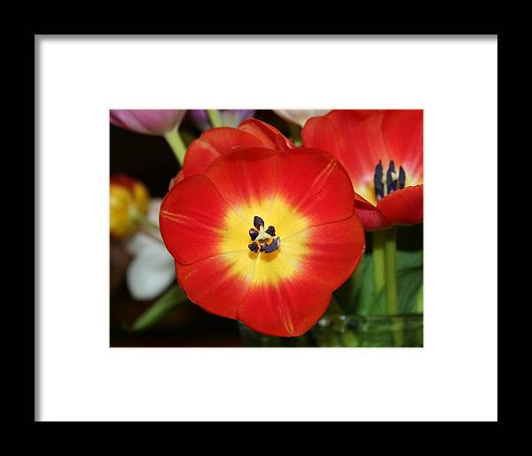 Tulip Framed Print featuring the photograph The Brightest One by Magda Levin-Gutierrez