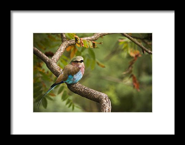 Bird Framed Print featuring the photograph The Conspicuous Roller by Chad Davis