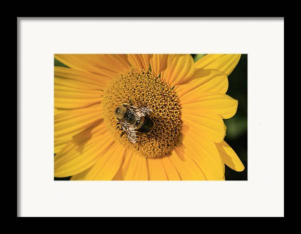 Sunflower Framed Print featuring the photograph The Courier by Alan Rutherford