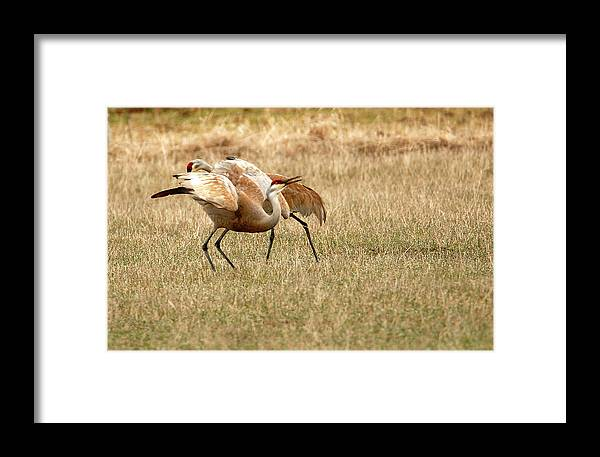 Bird Framed Print featuring the photograph The Dance by Dennis Hammer