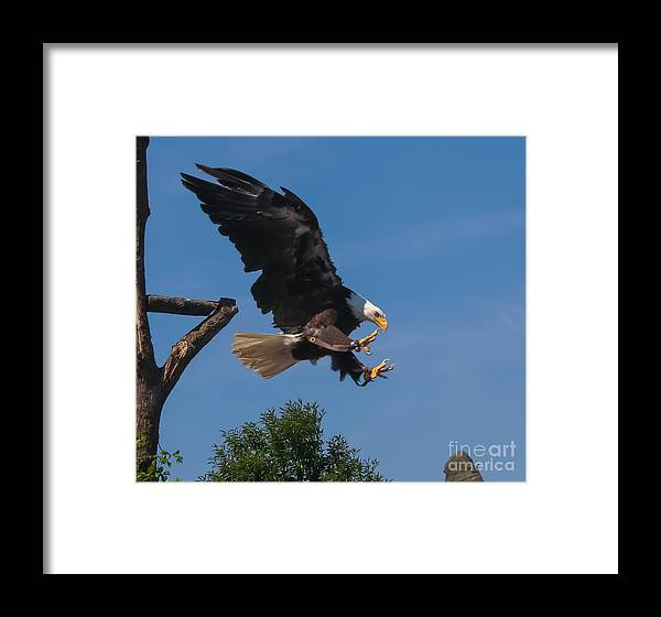 Bald Eagle Framed Print featuring the photograph The Eagle Is Landing by Amy Sorvillo
