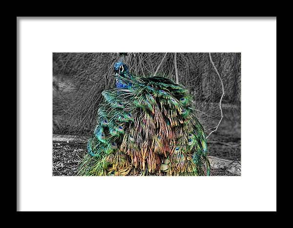 Peacock. Bird Framed Print featuring the photograph The Emperors Clothes by Douglas Barnard