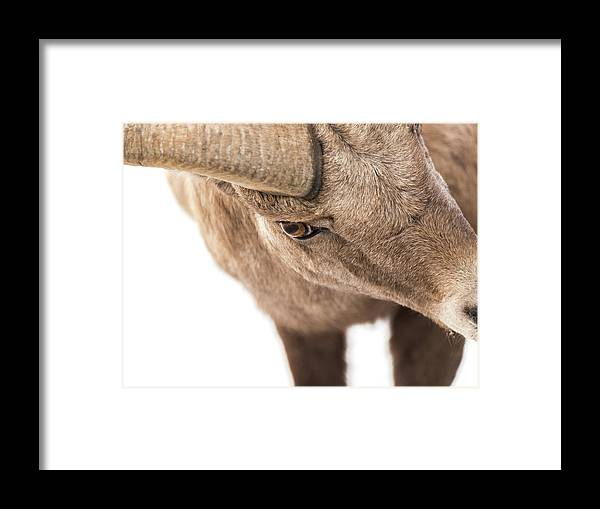Big-horn Sheep Framed Print featuring the photograph The Eye Of The Ram by Yeates Photography