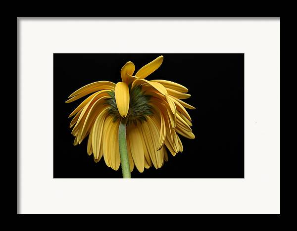 Flower Framed Print featuring the photograph The Flop by Dan Holm