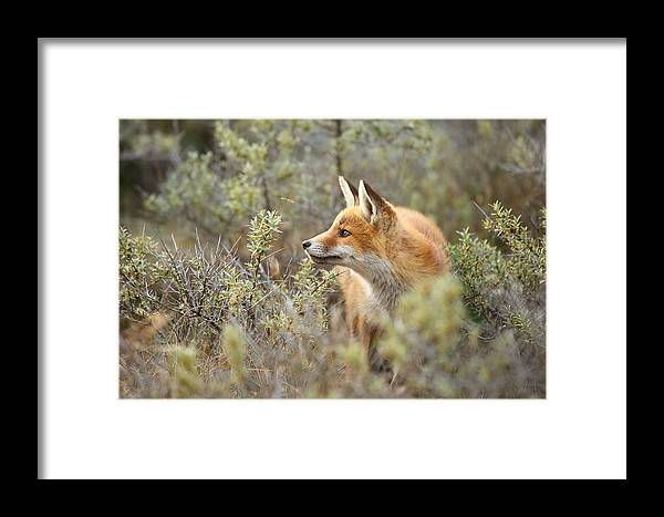 Red Fox Framed Print featuring the photograph The Fox And Its Prey by Roeselien Raimond