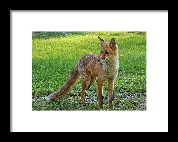 Fox Framed Print featuring the photograph The Fox by Emil Vasev