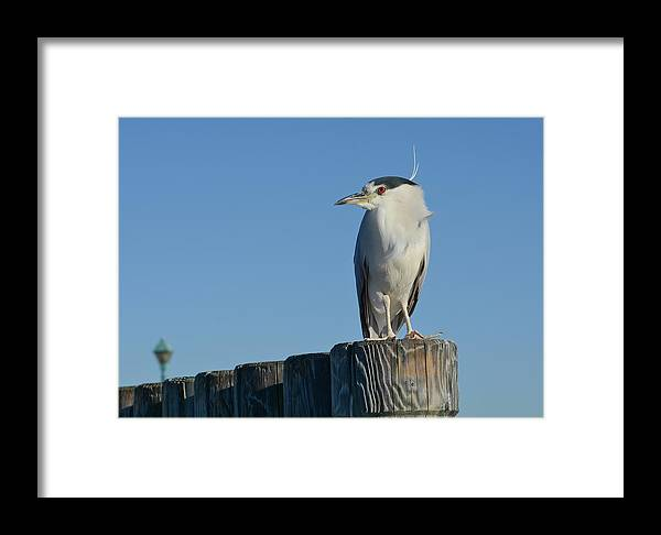 Black Crowned Night Heron Framed Print featuring the photograph The Gatekeeper by Fraida Gutovich