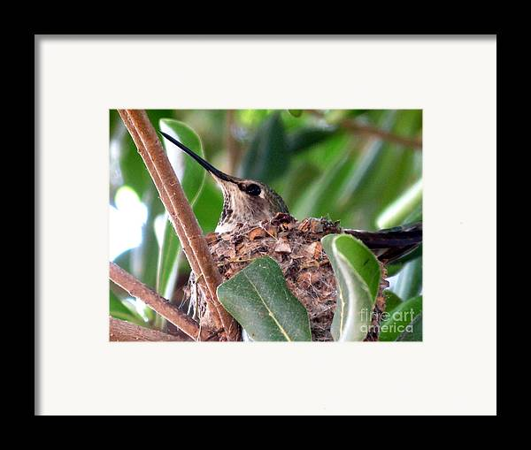 Humming Bird Framed Print featuring the photograph The Gift Of Spring by PJ Cloud