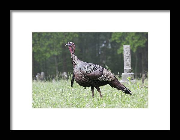 Turkey Framed Print featuring the photograph The Graveyard Strut by Tina B Hamilton