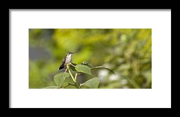 Hummingbird Framed Print featuring the photograph The Green Hummingbird by Chad Davis