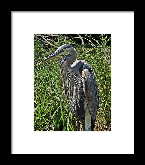 Animal Framed Print featuring the photograph The Heron by Norman Vedder