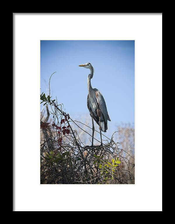 Great Blue Heron Framed Print featuring the photograph The Heron Perch by Chad Davis