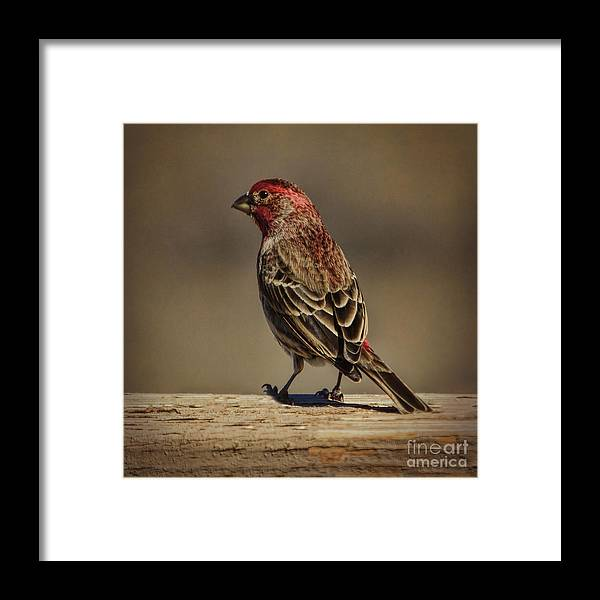 Wildlife Framed Print featuring the photograph The House Finch by Janice Pariza